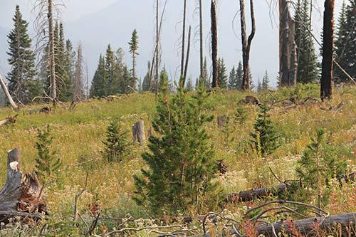 whitebark pine seedlings