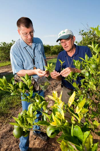 U.S. Department of Agriculture entomologists inspect orange trees for Asian citrus psyllids.