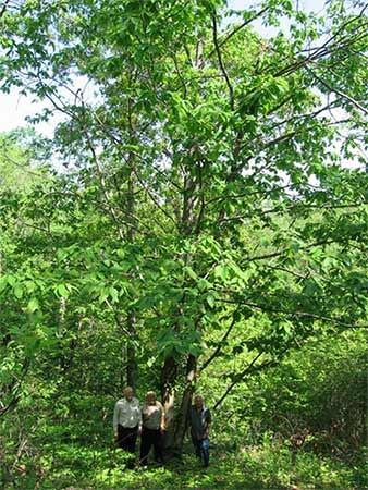 "The ""Prickly and Persistent"" Ozark Chinkapin of Missouri won the title of ""Ultimate Big Tree."""
