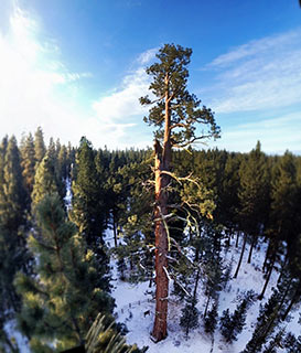 Newly crowned ponderosa pine national champion in Oregon. Credit: American Forests