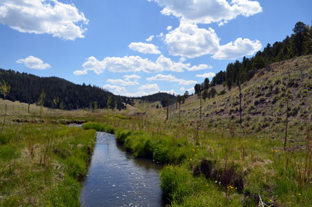 Newly planted trees along San Antonio Creek in the Jemez Mountains