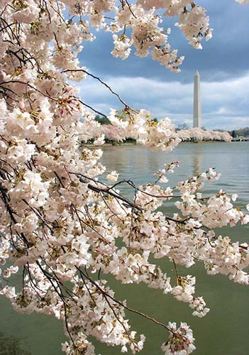 The Washington Monument overlooks the tidal basin's blooming cherry trees. Credit: Rob Posse/Flickr