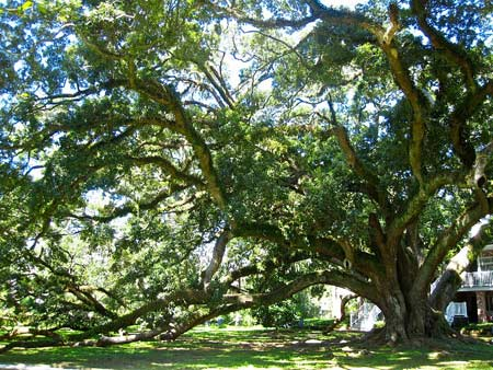 The spring 2013 National Register includes champion trees like the Seven Sisters Oak in Louisiana. Credit: American Forests