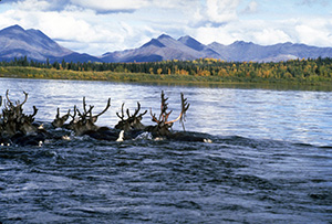 Caribou use their hooves as paddles to swim, and their hollow hair provides buoyancy. Photo: Western Arctic National Parklands.
