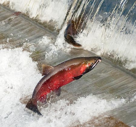 The threatened Coho salmon