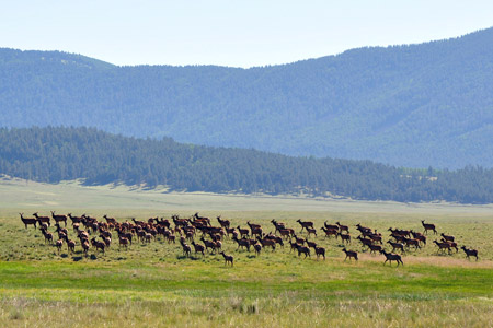 An elk herd in Valles Caldera, New Mexico