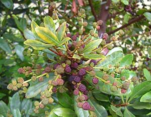 Fruit of Morella faya, or firetree. Credit: Forest & Kim Starr, Starr Environmental, Bugwood.org
