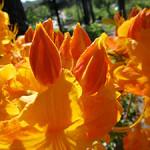 Orange azaleas. Photo: EllemM1/Flickr
