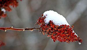 Sumac seeds are an important part of the winter diet of several species of birds and small animals. Photo: Rosalyn Murphy.
