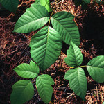 Poison ivy. Photo: James H. Miller & Ted Bodner, Southern Weed Science Society, Bugwood.org