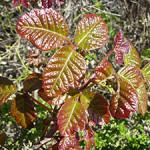 Poison oak. Photo: James H. Miller & Ted Bodner, Southern Weed Science Society, Bugwood.org