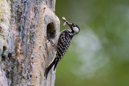 The endangered red-cockaded woodpecker