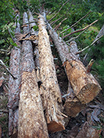 Populations of red pines were depleted due to harvesting practices in the 1800s. Photo: Muskegon Conservation District