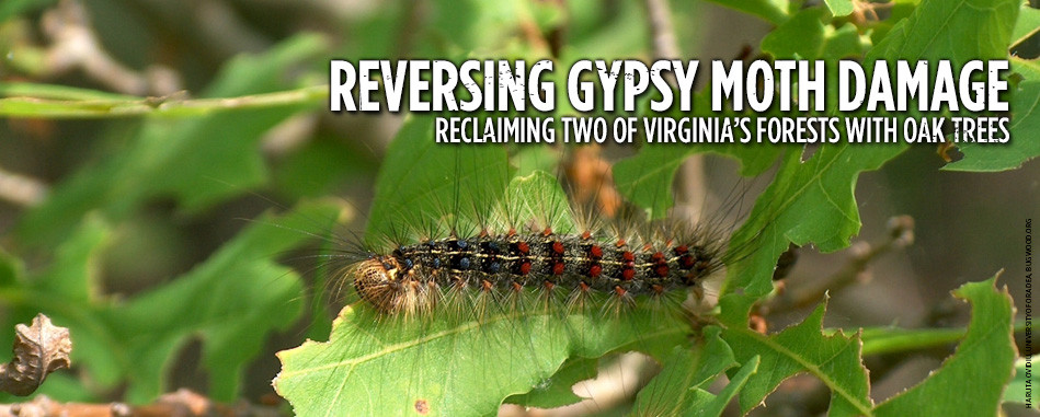 Reversing-gypsy-moth-damage-v1