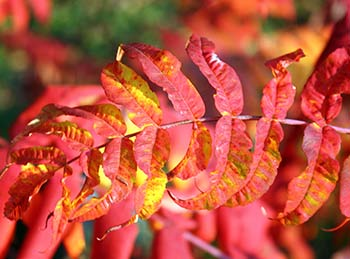 Sumac leaves. Photo: Hadleygressisasparagus/Flickr