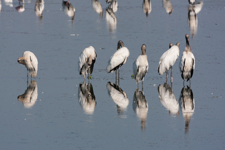 The endangered wood stork