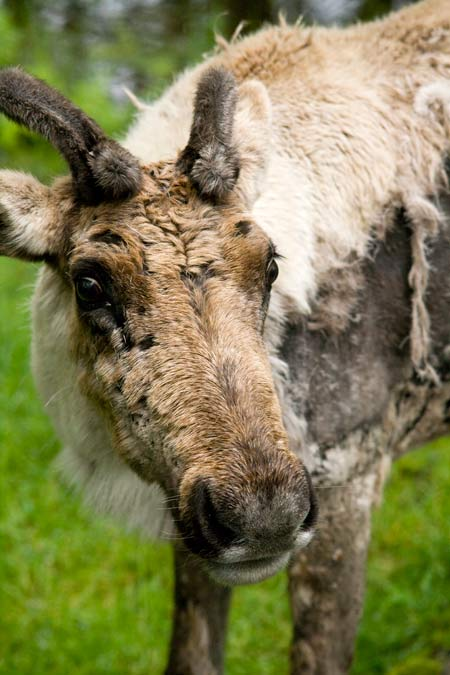 The endangered woodland caribou