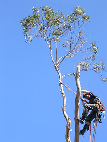 Arborist-up-tree_Chris-Robertson