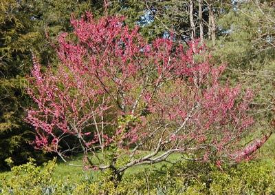 Eastern redbud (Cercis canadensis Linnaeus), one of the species being planted in this project.