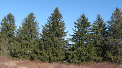 Norway spruce (Picea abies), one of the species being planted in this project.