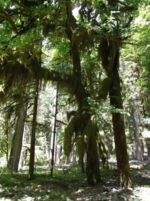 In Quinault Rain Forest, big trees, moss and lichens abound.