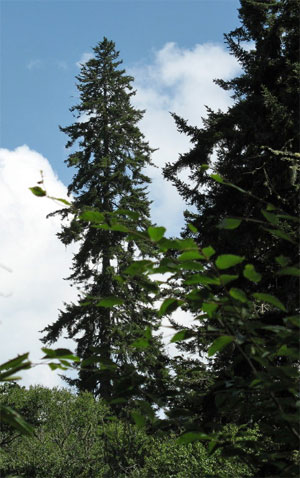 National champion red spruce