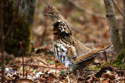 Ruffed grouse (Bonasa umbellus), which is a common species in Michigan