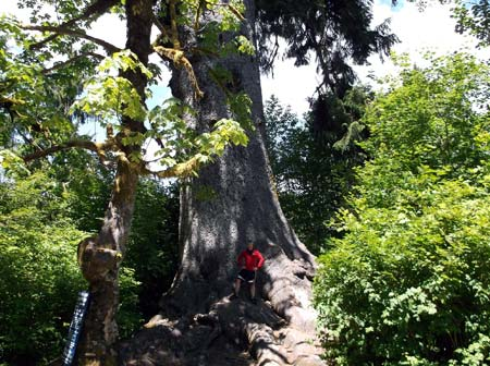 The world's biggest Sitka spruce. Credit: Josh deLacy