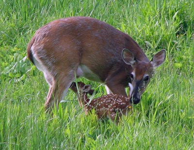 Whitetail doe (Odocoileus virginianus) and fawn, which are a common species in Michigan
