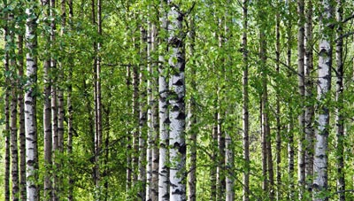 Downy birch (Betula pubescens), which is a native species this project is hoping to help propagate.