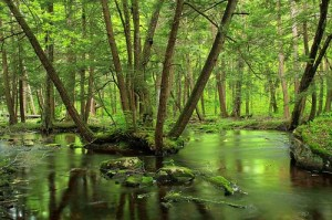 A stream meanders through a forest of hemlocks and mixed hardwoods. Credit: Nicholas A. Tonelli