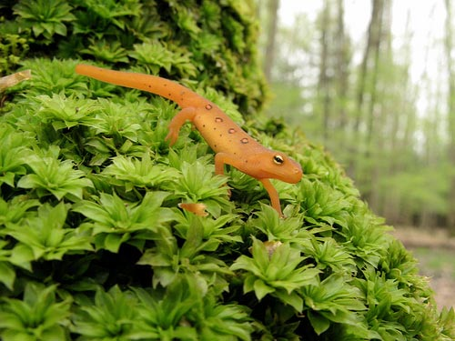 Red eft (jevenile eastern newt). Credit: Dave Huth