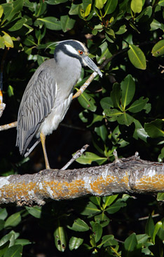 "Yellow-crowned night-heron in J.N. ""Ding"" Darling National Wildlife Refuge."