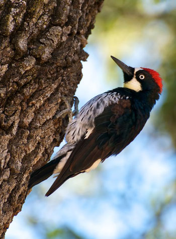 An acorn woodpecker, a species associated with Pacific Northwest oak habitat