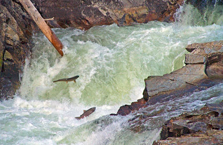 Chinook salmon in the Salmon River, a tributary of the Klamath River