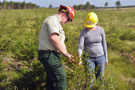 Examining a young Jack pine in Michigan's Hiawatha National Forest.