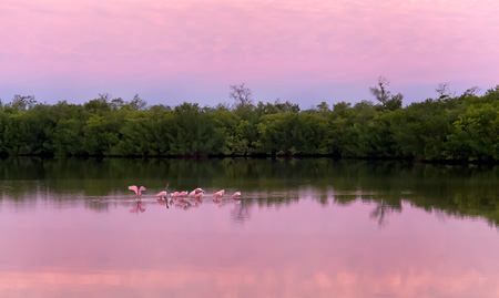 Roseate spoonbills, J.N. Ding Darling National Wildlife Refuge.