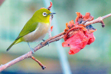 Japanese white-eye