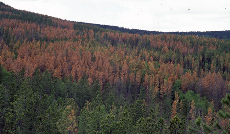A damaged, multi-colored forest due to the mountain pine beetle