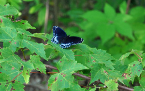 A butterfly at the 2012 Muskegon Partnership for Trees project site.