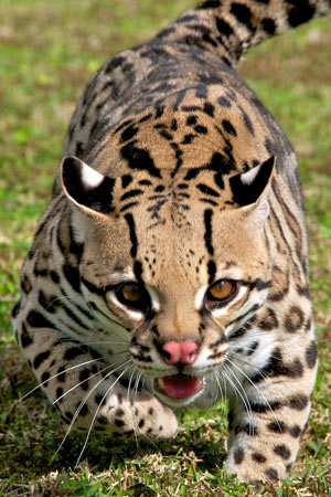 The endangered ocelot, which we've been protecting through habitat restoration work in Texas