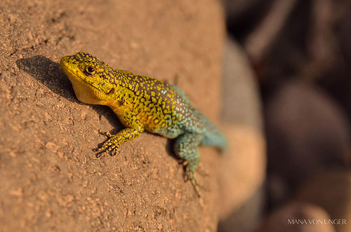 Jewel lizard
