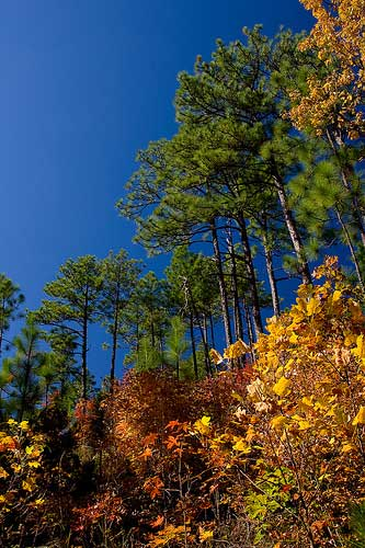 Longleaf pines. Credit: Michael Heston