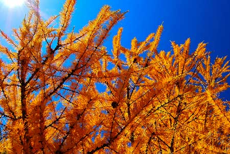 Needles of the tamarack in autumn