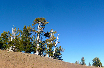 The whitebark pine faces an uphill battle for survival, but American Forests and our partners are working to keep this keystone species intact.