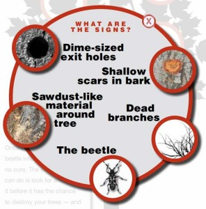 Infographic from: http://asianlonghornedbeetle.com