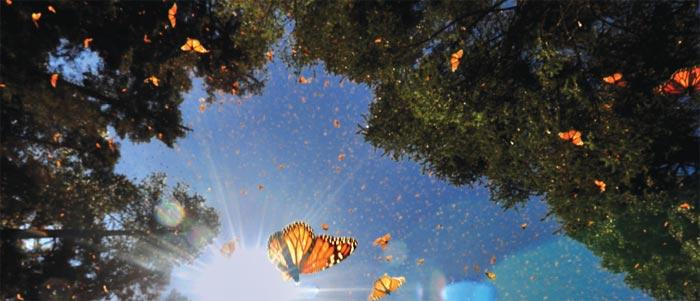 Monarchs in oyamel fir forests