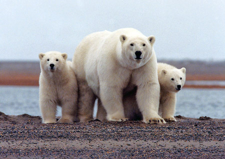 A polar bear and her young along the Beaufort Sea coast in Alaska's Arctic National Wildlife Refuge