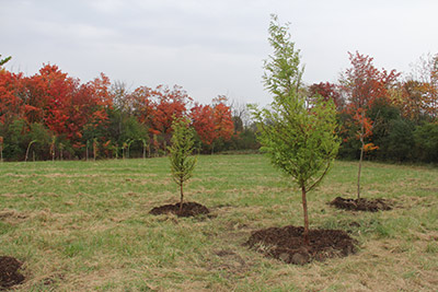 Trees planted in Rouge River Park in Detroit as part of an October 17 Community ReLeaf event.