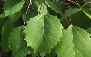 Bigtooth aspen leaves